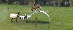 Balancing Act: Check Out These Amazing Goats