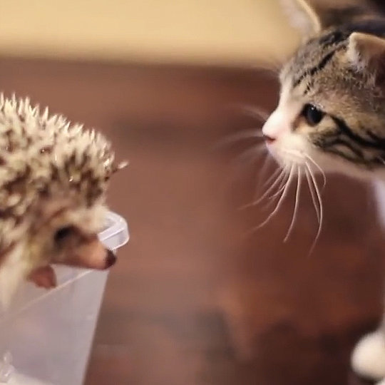 Kitten Meets a Hedgehog For the First Time | Video
