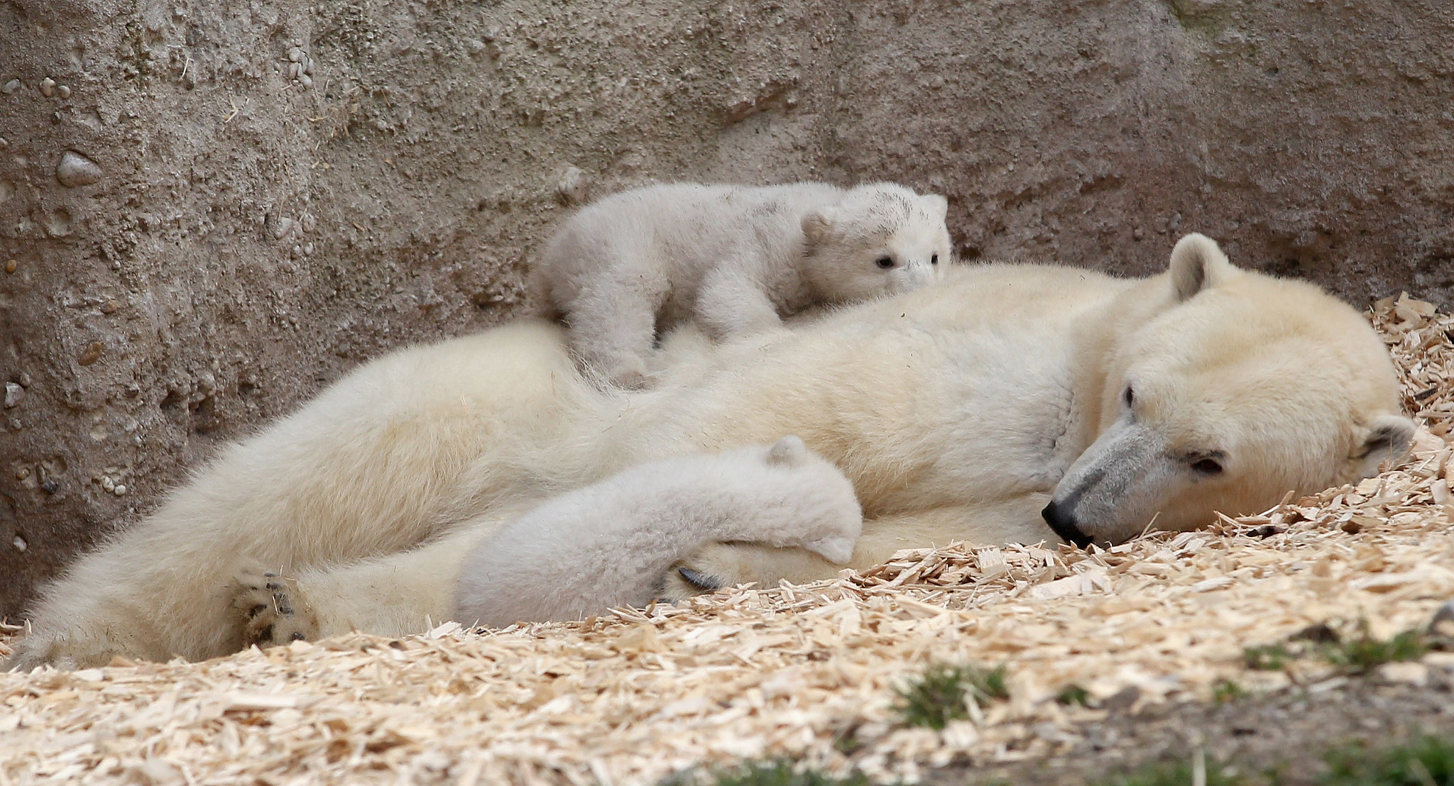 Polar Bear Cubs Sleep on Mom