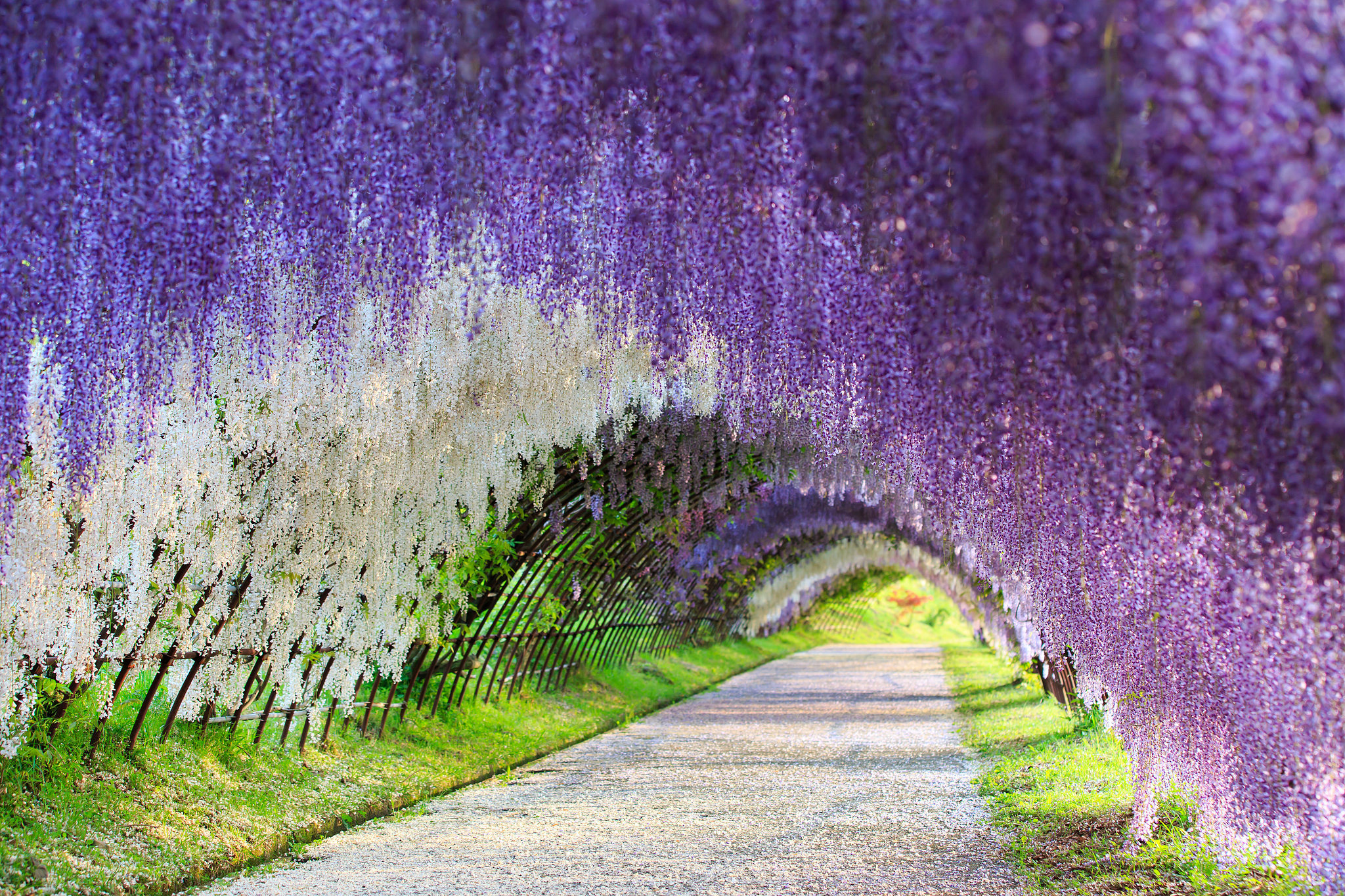 Run Through a Wisteria Flower Tunnel in Japan