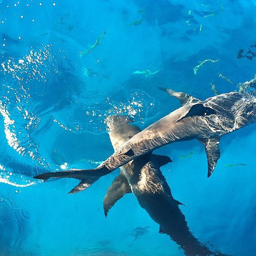 Swim With Sharks in the Bahamas