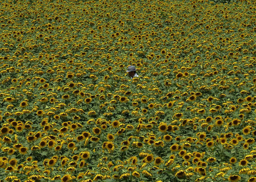 Sea of Sunflowers