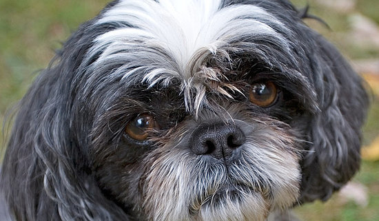 10 Cool Facts About Shih Tzus