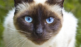 10 Siamese Cat Facts