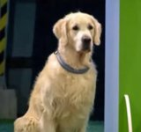Golden Retriever Fails Obedience Competition