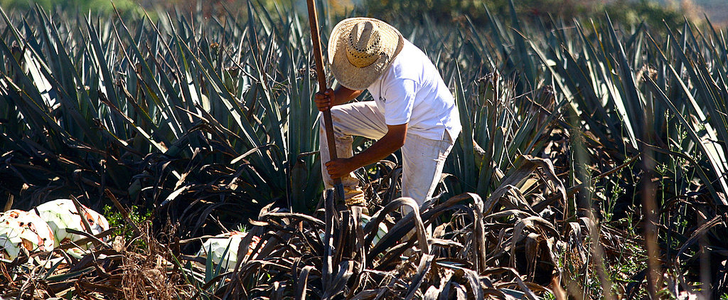 From Harvest to Bottling, How Tequila Is Made