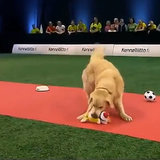 A Golden Retriever Fails an Obedience Contest in a Glorious Way