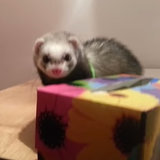 Cute Ferret Trying to Jump | Video
