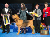 Meet the 2014 National Dog Show Champion: Nathan the Bloodhound
