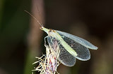 Look Out for Lacewings: Beneficial Insects Coming to a Garden Near You (6 photos)
