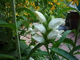 Great Design Plant: Chelone Glabra (3 photos)