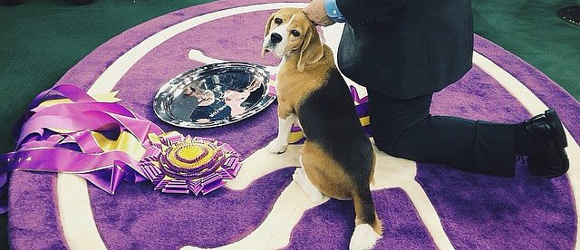 Top Dog: Beagle Wins Westminster!