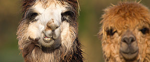 14 Ways You Know Llamas Are Your Spirit Animal