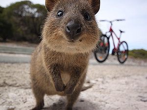 Adorable Australian Quokkas Have Mastered the Art of the Selfie