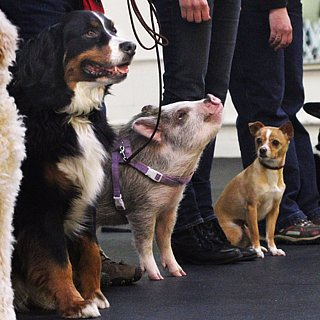 Amy the Pig Performs in Seattle Dog Show Video