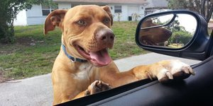 Deputy Spots Pit Bull On The Loose, Ends Up Befriending Goofy Pup