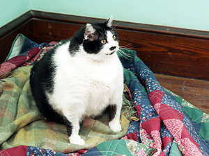 Sprinkles the 33-Lb. Cat Is Looking to Slim Down