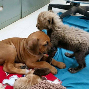 "Rhodesian Ridgeback Puppy Becomes ""Companion Animal"" to a Cheetah Cub"