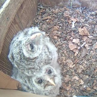Baby Owls Video