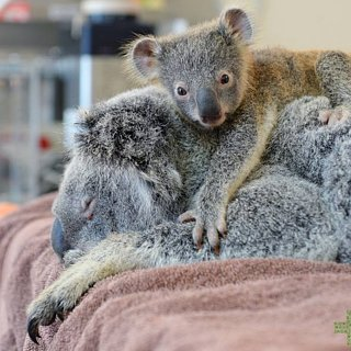 Baby Koala Stays With Mom During Surgery