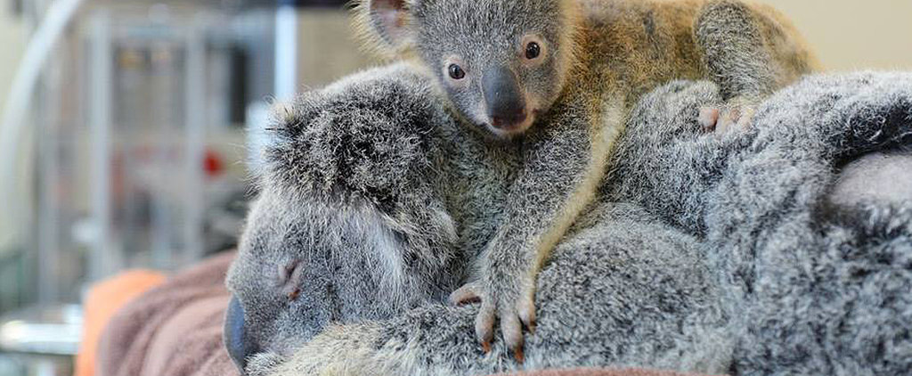 Update: Mama Koala and Baby Released Back Into the Wild