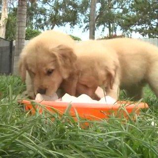 Golden Retrievers Eating Ice | Video