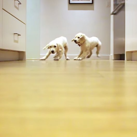 Golden Retriever Dogs Time-Lapse Video