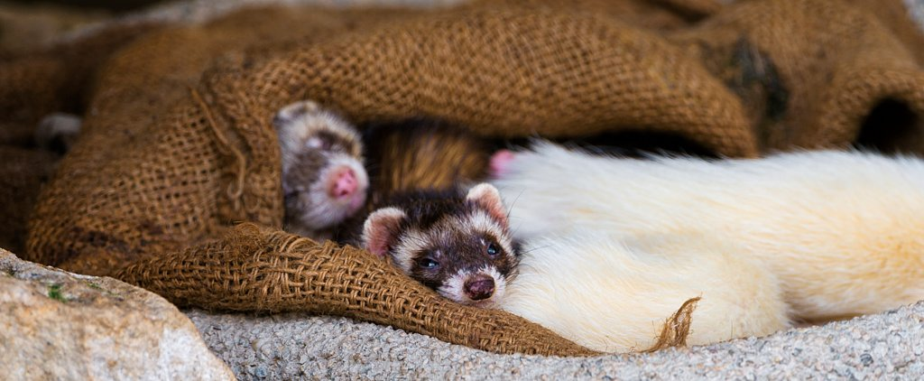 9 Things You Never Knew About Ferrets
