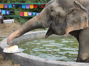 WATCH: Raju the Elephant Celebrates One Year of Freedom – with Cake!