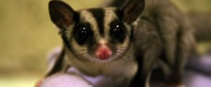 9 Fascinating Facts About Sugar Gliders