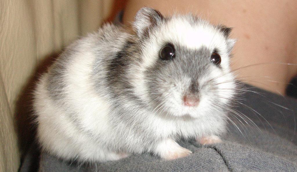 An adorable Russian dwarf hamster.