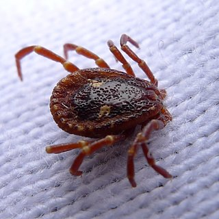 How to Remove a Tick From a Dog