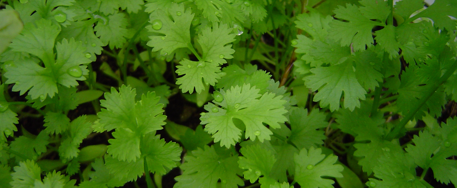 Cilantro-Lovers, This Troubling News From the FDA Will Make You Feel Icky