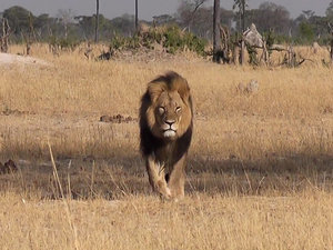 American Tourist Implicated in Killing of Famous Zimbabwe Lion 'Cecil'