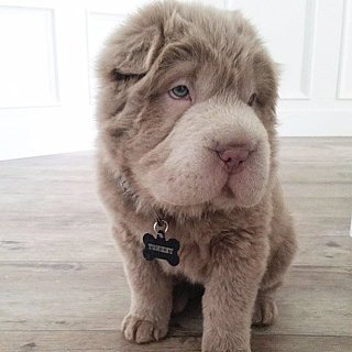 Cute Tonkey Bear Dog on Instagram