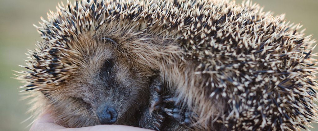 8 of the Coolest Things About Hedgehogs