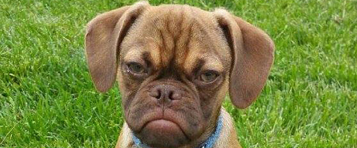 This Is the Dog Version of Grumpy Cat, and He's Awesome
