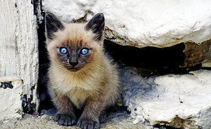 A Song of Ice and Fur: Siamese Cats, Clearly, Are White Walkers