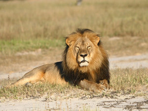 Senators Introduce CECIL Act After Outcry Over Killed African Lion