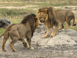 Conflicting Reports Emerge About the Fate of Cecil the Lion's Brother, Jericho