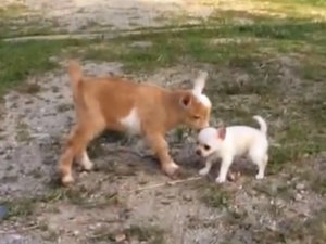 Interspecies Friendship of the Day: Chihuahua Puppy and Goats (VIDEO)