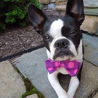 Dogs in Bow Ties
