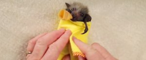 There's Nothing Cuter Than Baby Bats Bundled in Blankets