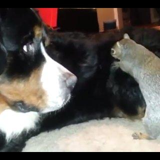 Squirrel Hides Nut in Dog's Fur