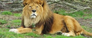 You Won't Believe This Circus Lion's Reaction the First Time He Touches Grass