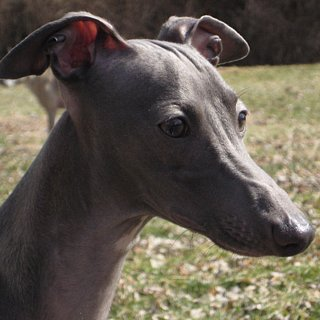 Greyhound Dog Trivia