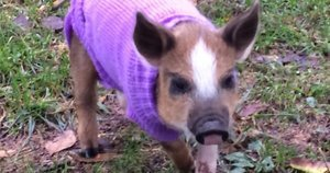 This Little Piggy Escaped Slaughter And Now Trots Around A Sanctuary