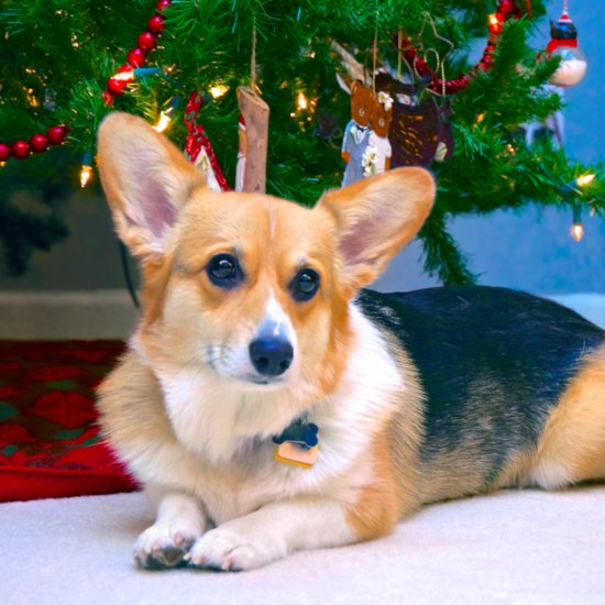 Christmas Dangers For Dogs