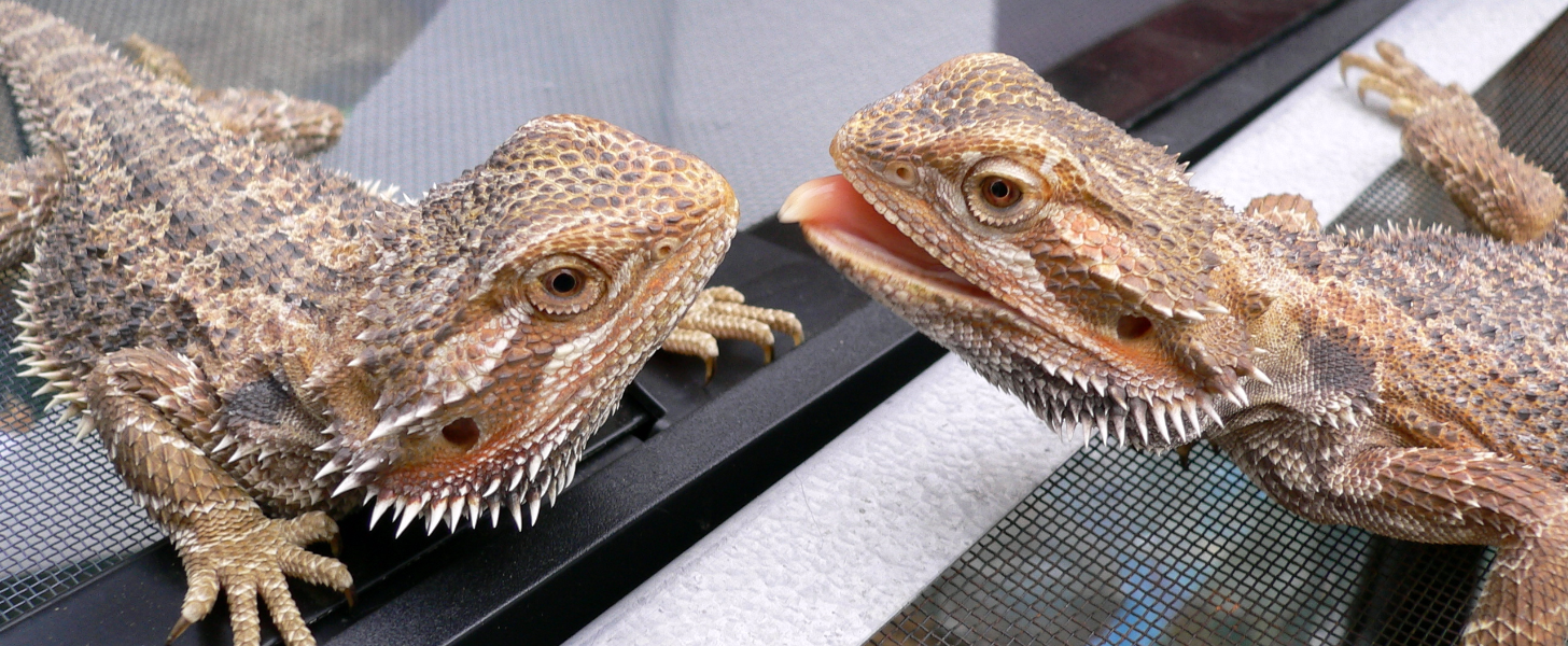 10 Facts You Never Knew About Bearded Dragons