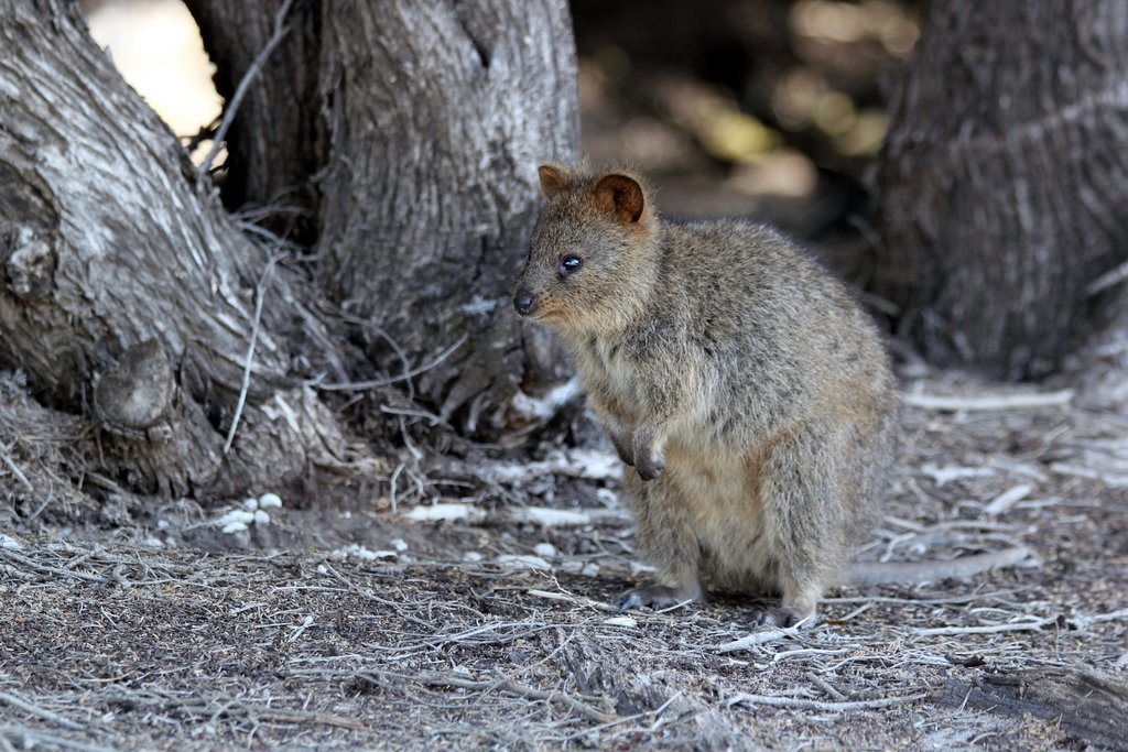 Like most macropods, quokkas have pouches and are herbivores, but unlike other marsupials in their family, they can climb trees and shrubs.